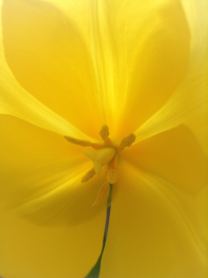 A shot of one of my get well flowers - beautiful yellow tulips: